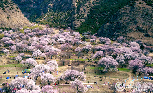 Annual Peach Blossom Festival kicks off in Nyingchi, Tibet